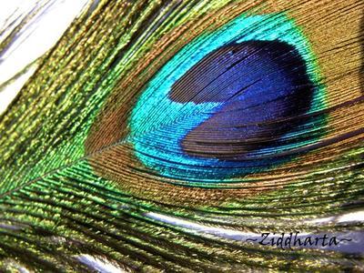 Påfågelsfjäder /Peacock Feathers: 1st fjäder ~32cm